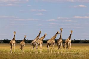 Giraffen, Quelle: www.fotofeeling.com