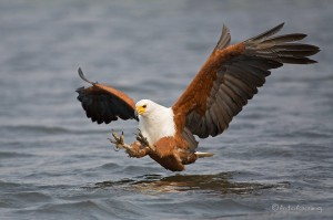 Seeadler beim fischfang quelle www fotofeeling com